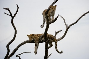 Africa Safari Leopards