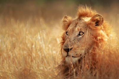 Lion South Africa Safaris