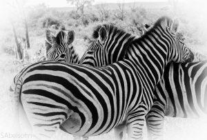 Zebra Kruger National Park safari