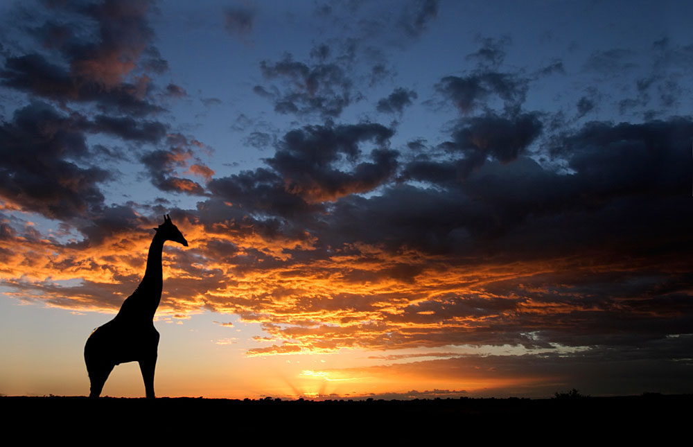 Girafee and a Kgaglagadi Safari Sunset.