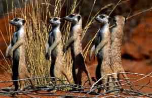 Meerkats Kgalagadi Transfrontier Park