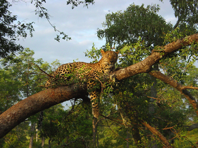 Sabi Sands Leopard in tree