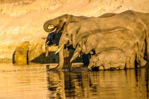 Chobe River Elephants Botswana Safari