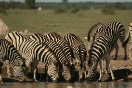 Zebras drinking in Kruger National Park