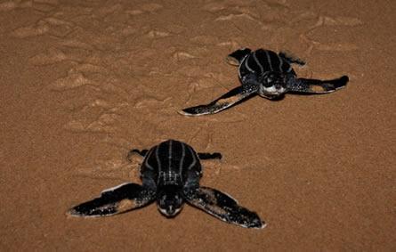 Thonga Beach Lodge leatherback