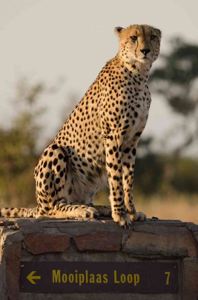 South Africa Safaris cheetah