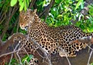 Leopard Africa safaris