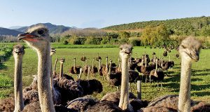 Ostrich Farm Oudtschoorn part of a Garden Route tour.