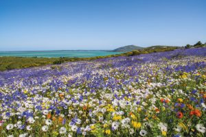 West Coast South Africa Wild Flowers